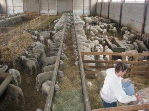 Vente directe d'agneaux fermiers